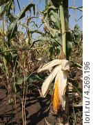 Кукуруза в поле. Стоковое фото, фотограф Анастасия Благая / Фотобанк Лори