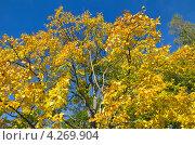 Купить «Осеннее дерево на фоне синего неба», эксклюзивное фото № 4269904, снято 14 сентября 2012 г. (c) Елена Коромыслова / Фотобанк Лори