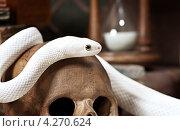 Купить «Белый техасский полоз или крысиная змея на черепе», фото № 4270624, снято 20 января 2013 г. (c) Алексей Кузнецов / Фотобанк Лори
