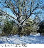 Купить «Дуб с раскидистыми ветвями в зимнем лесу», фото № 4272752, снято 18 августа 2019 г. (c) Михаил Марковский / Фотобанк Лори