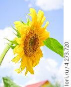 Купить «Подсолнух (Helianthus annuus)», эксклюзивное фото № 4273720, снято 17 августа 2012 г. (c) Алёшина Оксана / Фотобанк Лори