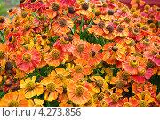 Купить «Гелениум красный (Helenium)», эксклюзивное фото № 4273856, снято 17 августа 2012 г. (c) Алёшина Оксана / Фотобанк Лори