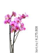Купить «Ветка розово-лиловой орхидеи на белом фоне», эксклюзивное фото № 4275808, снято 10 февраля 2013 г. (c) Юрий Морозов / Фотобанк Лори