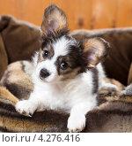 Купить «Маленький щенок в лежанке для собак», фото № 4276416, снято 10 февраля 2013 г. (c) Сергей Лаврентьев / Фотобанк Лори