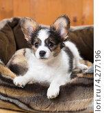 Купить «Щенок папильона в лежанке для собак», фото № 4277196, снято 10 февраля 2013 г. (c) Сергей Лаврентьев / Фотобанк Лори