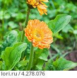 Купить «Цветок герберы (Gerbera)», эксклюзивное фото № 4278076, снято 17 августа 2012 г. (c) Алёшина Оксана / Фотобанк Лори