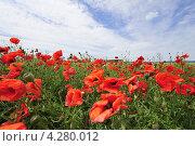 Маковое поле. Стоковое фото, фотограф Екатерина Васенина / Фотобанк Лори