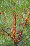 Облепиха, эксклюзивное фото № 4281644, снято 17 августа 2012 г. (c) Алёшина Оксана / Фотобанк Лори