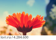 Цветок оранжевый. Стоковое фото, фотограф Ася Одуванчик / Фотобанк Лори