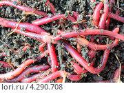 Красные черви в компосте. Стоковое фото, фотограф Михаил Коханчиков / Фотобанк Лори