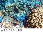 Купить «Кораллы и рыбы в Красном море. Египет, Африка.», фото № 4291420, снято 6 сентября 2012 г. (c) Vitas / Фотобанк Лори