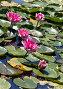 Розовые лилии, фото № 4294544, снято 15 августа 2012 г. (c) Наталья Волкова / Фотобанк Лори