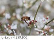 Пчела на цветке. Стоковое фото, фотограф Сергей Шпаков / Фотобанк Лори