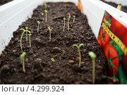 Первые листики рассады (2013 год). Редакционное фото, фотограф Анастасия Новодержкина / Фотобанк Лори
