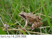 Лягушка. Стоковое фото, фотограф Никита Шауберт / Фотобанк Лори