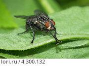Купить «Серая мясная муха (Sarcophagidae), макро», эксклюзивное фото № 4300132, снято 14 июня 2012 г. (c) Елена Коромыслова / Фотобанк Лори