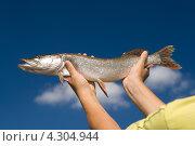 Щука в руках рыболова. Стоковое фото, фотограф Никитин Владимир / Фотобанк Лори