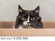 Купить «Черно-белый кот выглядывает из ящика», фото № 4305988, снято 15 февраля 2013 г. (c) Юрий Викулин / Фотобанк Лори