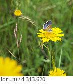 Бабочка на жёлтом цветке. Стоковое фото, фотограф Елена Есаян / Фотобанк Лори