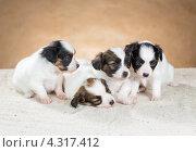 Купить «Четыре маленьких щенка породы папильон», фото № 4317412, снято 21 февраля 2013 г. (c) Сергей Лаврентьев / Фотобанк Лори