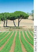 Томатные поля в летний солнечный день. Стоковое фото, фотограф Elnur / Фотобанк Лори