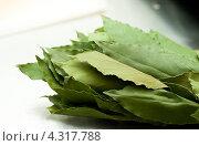 Купить «Лавровые листья», фото № 4317788, снято 8 февраля 2013 г. (c) Morgenstjerne / Фотобанк Лори