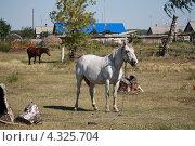 Купить «Лошадь пасётся», эксклюзивное фото № 4325704, снято 15 августа 2012 г. (c) Вероника / Фотобанк Лори