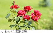 Купить «Куст красной розы», видеоролик № 4329396, снято 25 февраля 2013 г. (c) Юрий Коновал / Фотобанк Лори