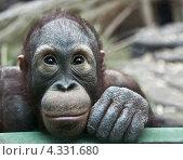 Купить «Детеныш орангутанга», фото № 4331680, снято 24 февраля 2013 г. (c) Наталья Волкова / Фотобанк Лори