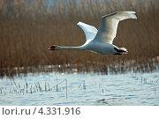 Купить «Летящий лебедь», фото № 4331916, снято 1 апреля 2007 г. (c) Эдуард Кислинский / Фотобанк Лори