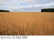 Купить «Поле спелой пшеницы», фото № 4332588, снято 14 августа 2010 г. (c) Юлия Машкова / Фотобанк Лори