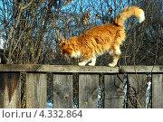 Рыжий мартовский кот. Стоковое фото, фотограф Julia Ovchinnikova / Фотобанк Лори