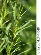 Зеленая веточка эстрагона (тархун, Artemisia dracunculus) Стоковое фото, фотограф Щеголева Ольга / Фотобанк Лори