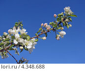 Купить «Цветущая ветка яблони на фоне синего неба», фото № 4348688, снято 25 мая 2012 г. (c) Людмила Осокина / Фотобанк Лори