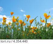 Купить «Желтые цветы на фоне неба», фото № 4354440, снято 12 июня 2011 г. (c) Петрова Ольга / Фотобанк Лори