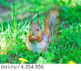 Купить «Белка грызет орешек», фото № 4354956, снято 17 мая 2012 г. (c) Алёшина Оксана / Фотобанк Лори