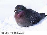 Купить «Птица, страдающая от холода», фото № 4355208, снято 2 марта 2013 г. (c) Александр Романов / Фотобанк Лори