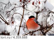 Гордый снегирь сидит на ветке. Стоковое фото, фотограф Анастасия Новикова / Фотобанк Лори