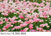 Купить «Фон из махровых красно-белых тюльпанов», фото № 4366464, снято 17 мая 2012 г. (c) Алёшина Оксана / Фотобанк Лори