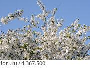 Вишневое дерево в цвету. Стоковое фото, фотограф Ольга Герасимова / Фотобанк Лори