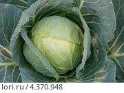 Купить «Капуста кочан», фото № 4370948, снято 10 июля 2010 г. (c) Jumbo / Фотобанк Лори