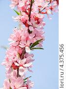Цветущий миндаль (Prunus dulcis) на фоне неба. Стоковое фото, фотограф Алёшина Оксана / Фотобанк Лори