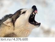 Лающая собака. Стоковое фото, фотограф Эдуард Кислинский / Фотобанк Лори