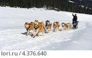 Купить «Катание на собаках. Хаски бегут в упряжке по зимнему полю», фото № 4376640, снято 3 марта 2013 г. (c) Эдуард Кислинский / Фотобанк Лори