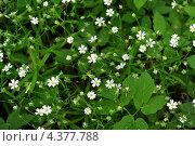 Купить «Текстура - маленькие беленькие цветочки в зеленой траве», фото № 4377788, снято 1 июня 2009 г. (c) Андрияшкин Александр / Фотобанк Лори