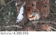 Купить «Белка на ветке грызет орех», видеоролик № 4380916, снято 8 марта 2013 г. (c) Юлия Машкова / Фотобанк Лори