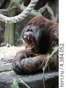 Купить «Орангутан зевает», фото № 4384052, снято 8 марта 2013 г. (c) Наталья Волкова / Фотобанк Лори