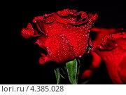 Красная роза на черном фоне. Стоковое фото, фотограф Тарасенко Татьяна / Фотобанк Лори