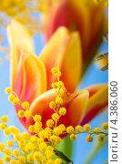 Купить «Весенний букет с мимозой и тюльпанами», фото № 4386060, снято 9 марта 2013 г. (c) Игорь Соколов / Фотобанк Лори