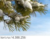 Сосновые ветви со снегом на фоне синего неба. Стоковое фото, фотограф Виталий Верхозин / Фотобанк Лори